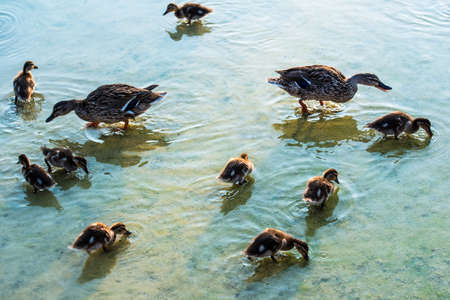 duck family - mother ducks and her ducklings making first experiences in a pond