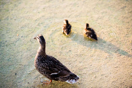 duck family - mother duck and her two ducklings in a pond photo