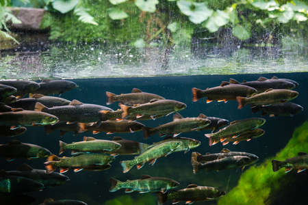 Flock of rainbow trout swimming in blue green water seen through aquarium window Stok Fotoğraf