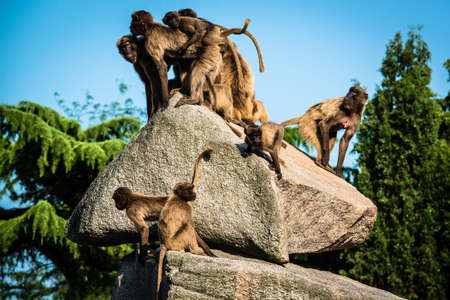 baboon monkeys sitting on a rock in bright sunlight in a zoo photo