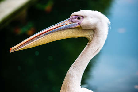 Pink pelican portrait with head and beak, selective focus photo