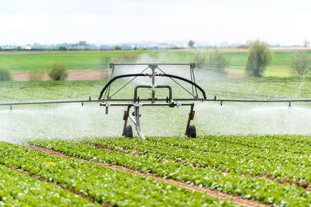 watering lettuce fields