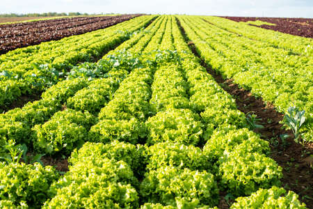 lettuce fields Stock Photo