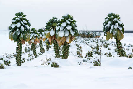 Brussels sprout plants covered by fresh snow
