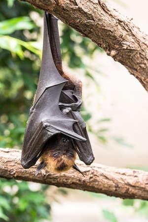 Fruit bat Schlaf Standard-Bild - 39654259