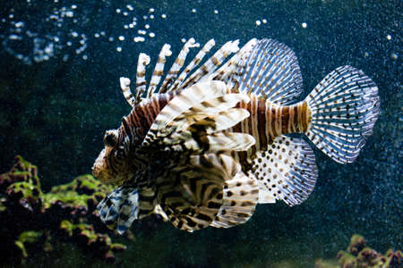 common lionfish: Common lionfish (Pterois miles) swimming in an aquarium Stock Photo