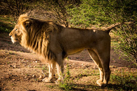 Side view of a Lion standing at sunrise, Panthera Leo, at the Kruger National Park in South Africa.