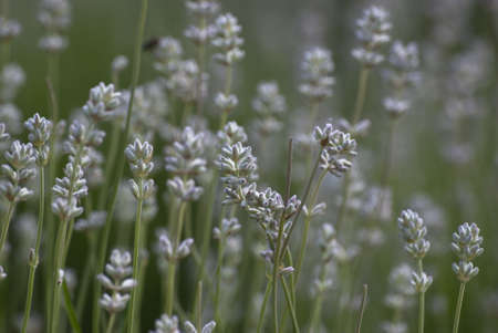 herbalism: Shallow depth of field shot of lavender growing outdoors.  In the soft focus background, a bee collecting pollen and grass are visible.