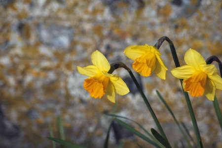 flint: Three yellow daffodils on right side of frame with soft focus flint stone wall in the background.   Stock Photo