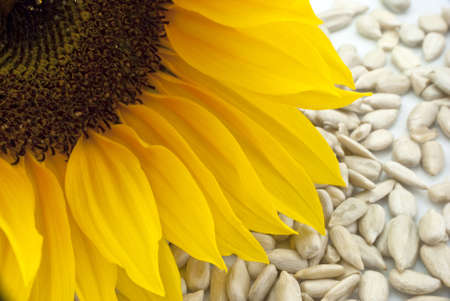 semillas de girasol: Primer plano de una cabeza de girasol con semillas de girasol dispersos por debajo de ella, en un plato blanco.
