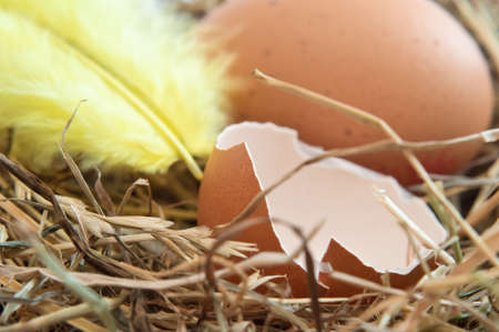Close up of a broken brown egg shell and yellow feather nestling on straw.  Whole egg in background. photo
