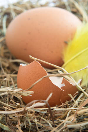 Close up of a broken brown egg shell and yellow feather nestling on straw.  Whole egg in background. Vertical Orientation. photo