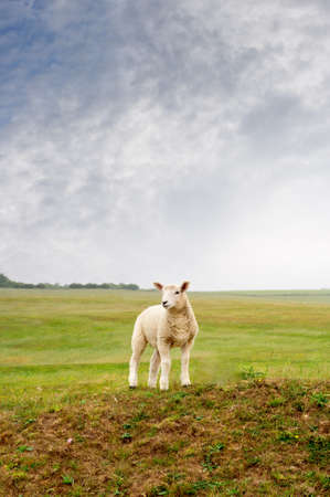 portrait orientation: A young lamb standing on a hill, looking towarsd left frame.  Cloudy sky, green fields and trees in background.  Portrait (vertical) orientation.