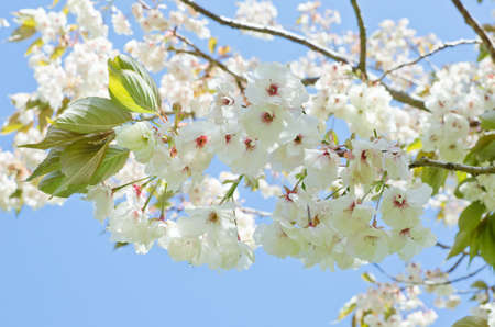 Branches filled with white and pink cherry blossom flowers against a light, bright blue sky.  Landscape orientation. photo