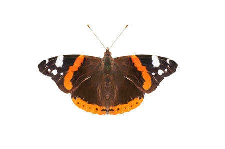 admiral: Close up (macro) of an English Red Admiral butterfly, photographed from above with wings spread flat,  isolated on a white background. Stock Photo