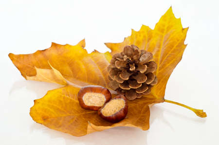 sycamore: A single Sycamore leaf  in Autumn shades of gold and orange, facing upwards and holding two chestnuts (conkers) and a fir cone.  Reflective surface beneath.