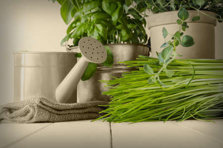 home grown: A selection of potted home grown culinary herbs on old wood planked table with watering can and hessian sack.  Leaves revealed in original green with other elements in sepia and vignetted for vintage effect.
