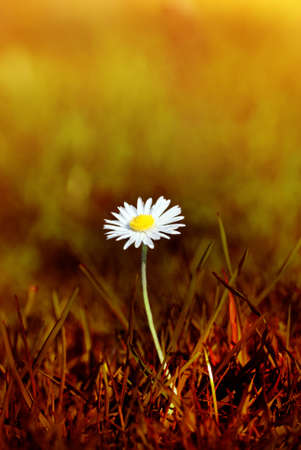 scorched: A Spring daisy emerging from grass that has been tinted to appear as a scorched wasteland.  The bokeh background has the appearance of forest fire traveling into the distance.