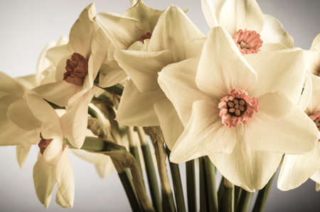 centres: A bunch of Spring Daffodils (narcissus) in creamy hues with coral pink centres shot indoors.