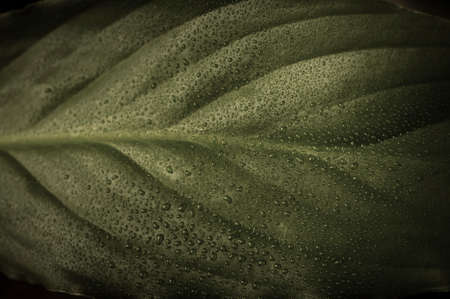 saturation: a green leaf in low saturation, covered in fine water drops.  Moody, atmosperhic lighting. Stock Photo