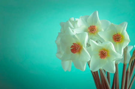 hued: A bunch of cream hued Spring daffodils with orange trumpets