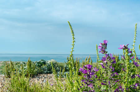Coastal flora on a pebble beach in southern England, including purple mallow.  Bright day with sea, horizon and sky in background. photo