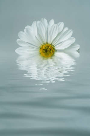reflected: A white, daisy shaped Chrysanthemum edited to appear half submerged and reflected in rippling blue water. Stock Photo
