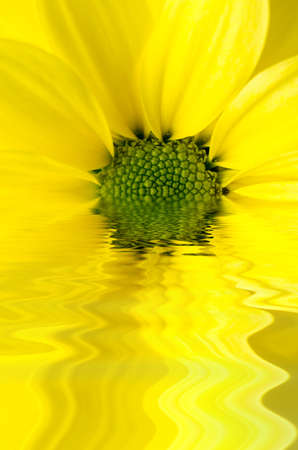 rippling: A yellow, daisy shaped Chrysanthemum edited to appear half submerged and reflected in rippling water.