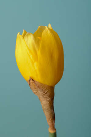 blue petals: An upright stem of a single, yellow daffodil, with petals just beginning to open and blossom against turquoise blue background.  Arrival of Spring or Easter concept.