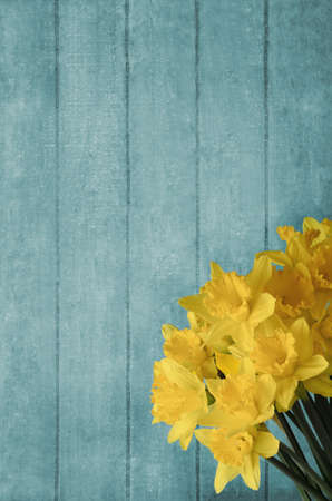 grouped: Yellow daffodils, grouped in front of turquoise wood plank background.