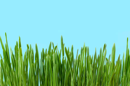 Row of blades of grass, growing upright against blue background to represent land and sky.  Copy space above.
