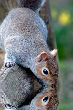 A grey squirrel reaching its head down from wooden fence as if drinking or looking into water. Reflection visible. Spring daffodils in background. Water effect artificially added.