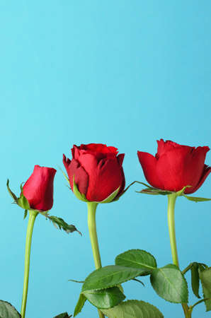 Three individual red roses, lined up in an upright row against a light, bright blue background.