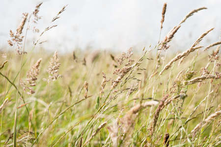 A variety of tall, wild grasses in the countryside, blowing and bending in the breeze with light grey sky for copy space.