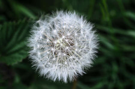 wispy: Close up of a white dandelion flower clock head in a natural setting with dark green woodland foliage in soft focus background.