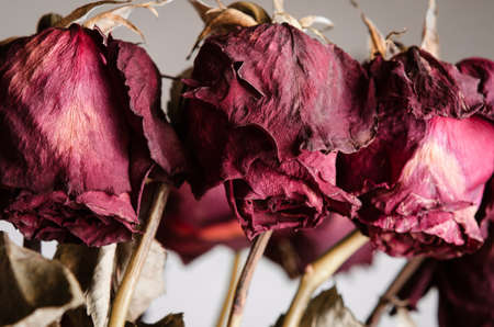 Close up of the drooping, dead flowerheads of red roses on stems. Stock Photo