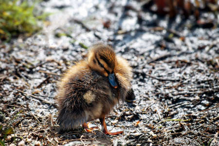 A fluffy Mallard duckling in brown and gold hues on a muddy bank in Spring, with dappled sunlight. Stock Photo