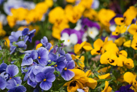 A garden of pansies in a variety of colours filling frame.
