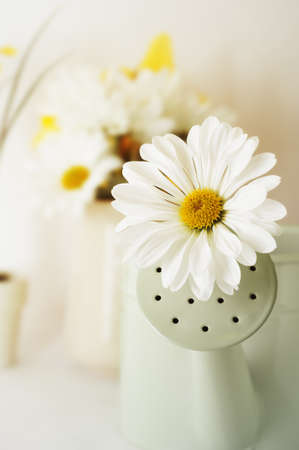 Daisy shaped Chrysanthemum protruding from watering can spout with jug of flowers and potted plant in soft focus background.