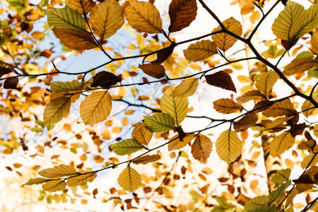Autumn l(Fall) eaves on tree branches ranging from green through gold and copper to dark brown with blue sky and white cloud above. Zdjęcie Seryjne