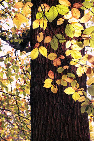 Bright sunlight shines through changing Autumn leaves on branch of woodland tree.