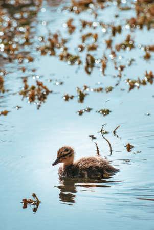 Little baby Mallard duckling, swimming alone through sunlit, sparkling pond water. Marine plants in soft focus background. Zdjęcie Seryjne