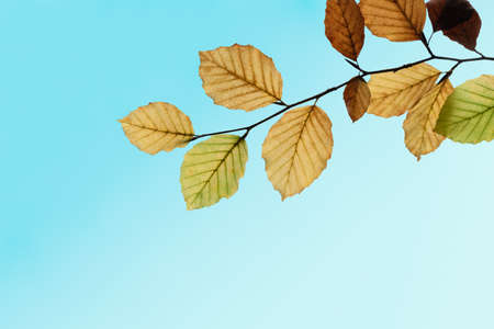 Autumn (Fall) leaves on single tree branch in green gold and brown against turquoise blue sky.