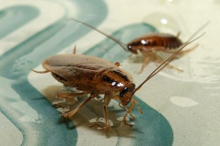 exterminate: cockroaches trap Stock Photo