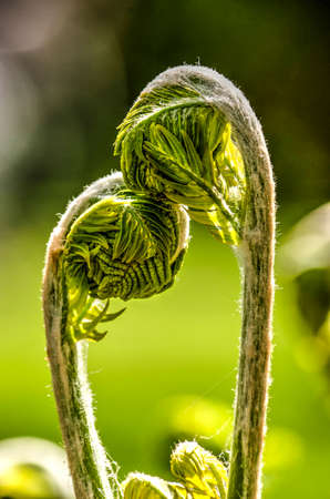 Two young fern leaves in springtime, seemingly showing affection for and caressing each other Stok Fotoğraf