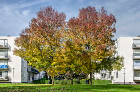 Rotterdam, The Netherlands, October 19, 2017: two large ash trees in autumn colors if front of the white facades of apartment buildings in a residential neighbourhood Editorial