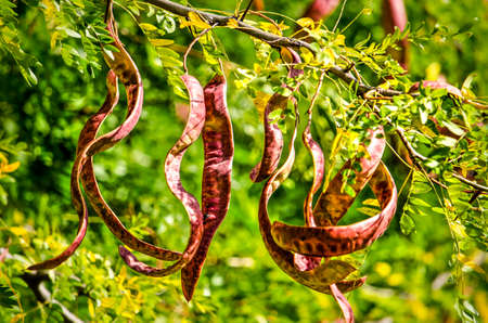 Close up of the long red pods of a honey locust on a sunny day in springtime 版權商用圖片