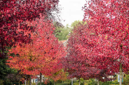 Rows of sweet gum trees with their characteristic red leaves on both sides of a city street in autumn