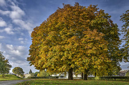 Two large chestnut trees in a public park in Rotterdam, The Netherlands on a sunny day in autumn