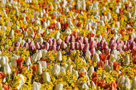 Group of pink tulips surrounded by red and yellow tulips as well as daffodils on a sunny day in springtime